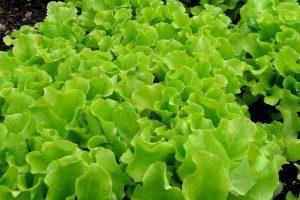 Виды листовых салатов