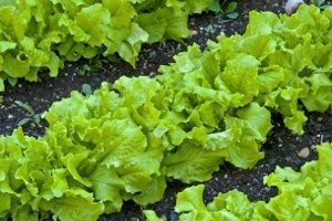 Как вырастить листовой салат